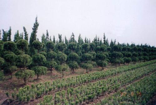 绿化苗木4