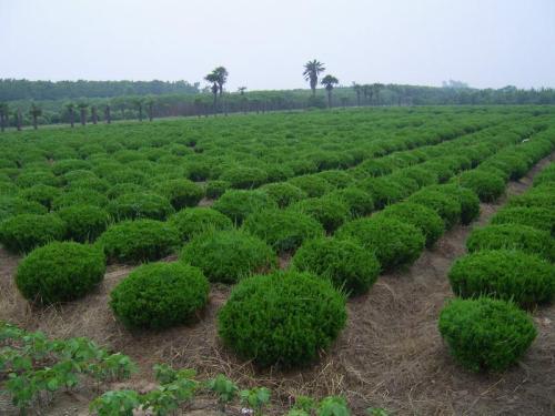 绿化苗木5