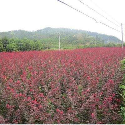 日本红枫6