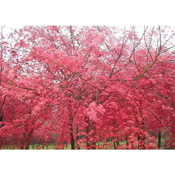 日本红枫7