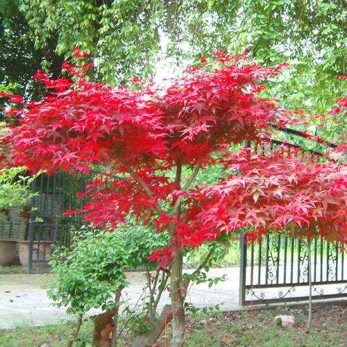 日本红枫8