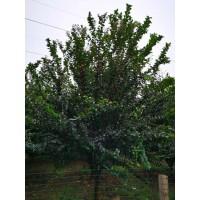紫薇树1000元/株 直径9公分